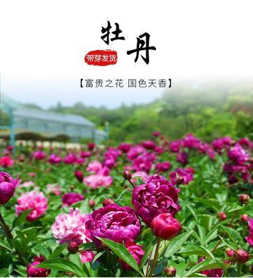 山东省临沂市平邑县观赏牡丹 0.5~1米 2~4cm 4cm以下