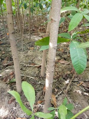 这是一张关于七叶树 的产品图片