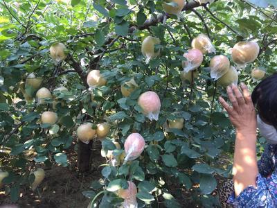 红富士苹果苗 2.5~3米