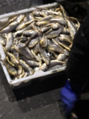 浙江省台州市温岭市小黄鱼 0.5公斤以下 野生