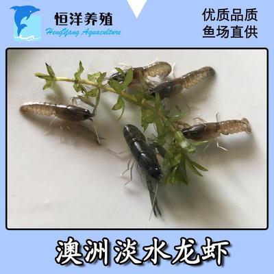 这是一张关于澳洲淡水龙虾 国产 0.4斤/只以下 的产品图片