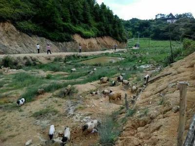 广东省梅州市五华县巴马香猪 60斤以上