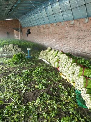 天津宁河县西芹 60cm以上 大棚种植 2.0~2.5斤