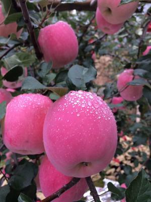 甘肃省平凉市静宁县红富士苹果 65mm以上 片红 纸袋