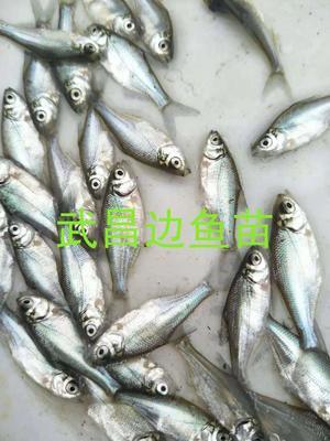这是一张关于边鱼苗 的产品图片
