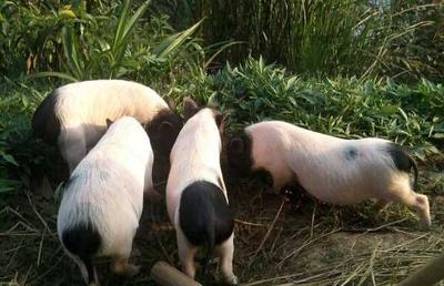 湖南省长沙市岳麓区巴马香猪 60斤以上
