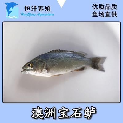 广东省广州市花都区宝石鲈鱼苗