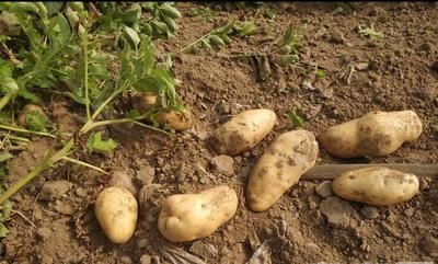 这是一张关于荷兰15号土豆 2~4两 的产品图片