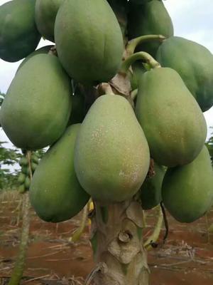 陕西省西安市雁塔区红心木瓜 1.5 - 2斤