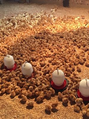 河南省三门峡市陕州区海兰褐蛋鸡苗 脱温鸡苗,防疫扎实