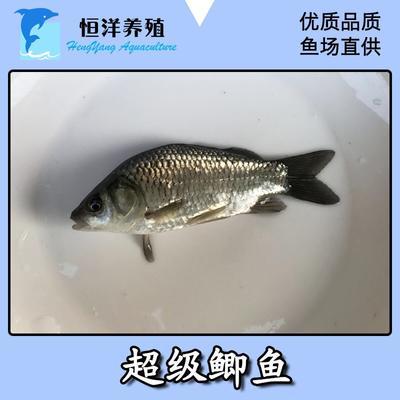 广东省广州市花都区鲫鱼苗