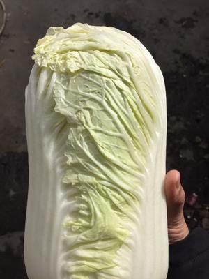 山东省济宁市泗水县北京3号大白菜 6~10斤 净菜
