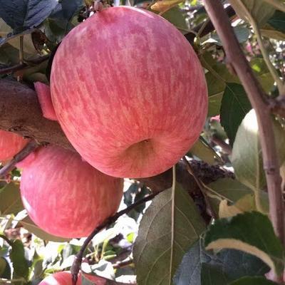 山东省临沂市平邑县红富士苹果苗 0.5~1米