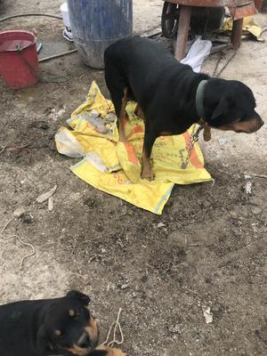 广东省佛山市南海区挪威犬