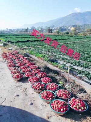 四川省凉山彝族自治州德昌县奶油草莓 20克以上