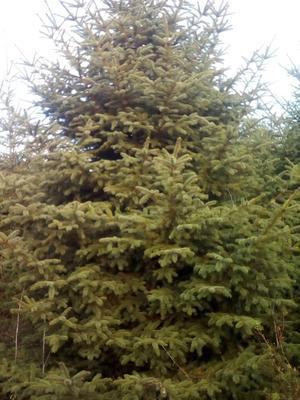 这是一张关于红皮云杉 的产品图片