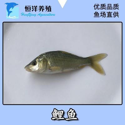 广东省广州市花都区鲤鱼苗