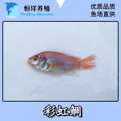 广东省广州市花都区红罗非鱼苗