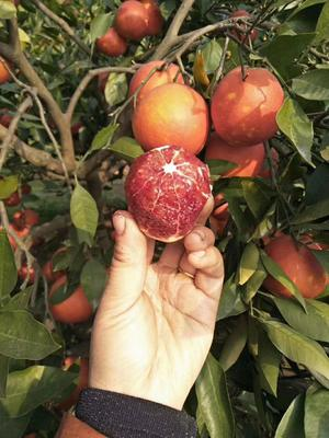 这是一张关于血橙 60 - 65mm 4两以下 的产品图片