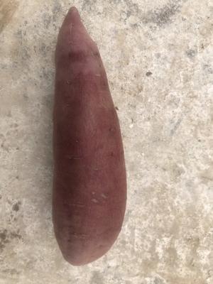 山东省东营市广饶县紫罗兰紫薯 6两~1斤