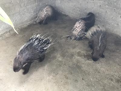 广东省阳江市阳春市中华豪猪 100斤以上