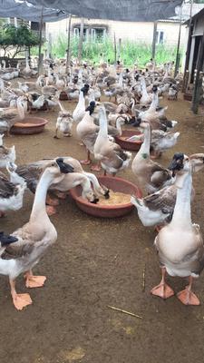 海南省儋州市儋州市狮头鹅 12斤以上 统货 全散养