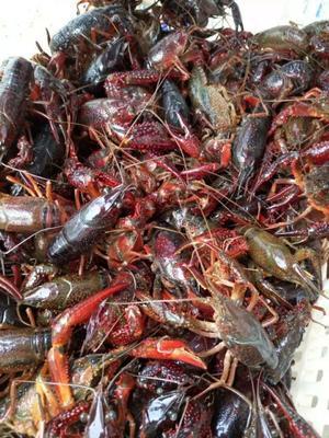 这是一张关于克氏原螯虾 4-6钱 塘虾 的产品图片