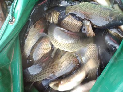 江西省赣州市章贡区池塘鲫鱼 人工养殖 0.5-3公斤