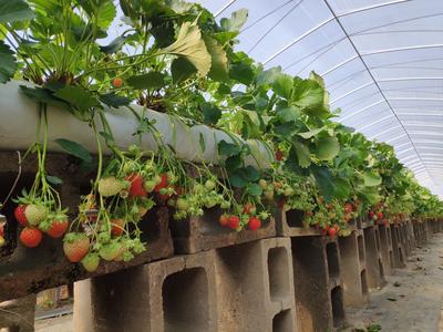 云南省红河哈尼族彝族自治州石屏县雪里香草莓 20克以下