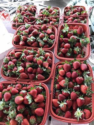 广东省惠州市博罗县妙香草莓 20克以下