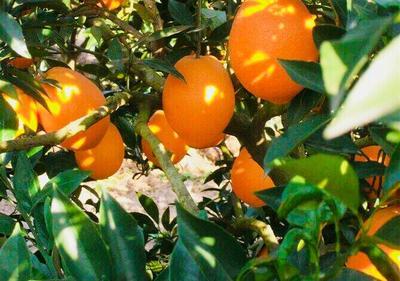 这是一张关于眉山脐橙 75 - 80mm 4-8两 的产品图片