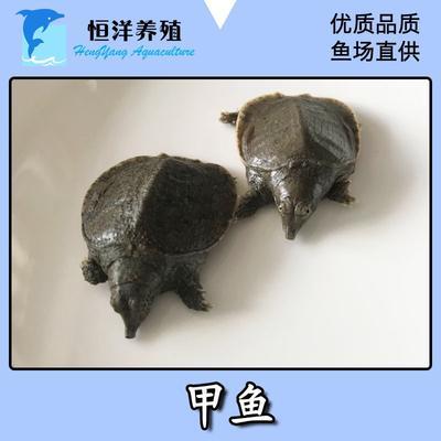 广东省广州市花都区中华鳖苗