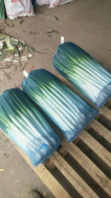 这是一张关于漳浦大葱 净葱 30~50cm 的产品图片