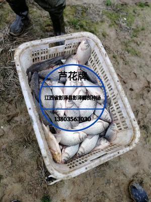 """这是一张关于彭泽鲫 人工养殖 0.25-1公斤 正宗""""芦花牌""""彭泽鲫的产品图片"""
