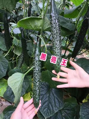 这是一张关于油亮密刺黄瓜种子 杂交种 ≥95% 的产品图片