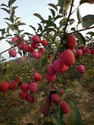 吉林省辽源市东丰县123苹果 60mm以下 条红 光果