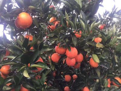 这是一张关于血橙 70mm 3两 的产品图片