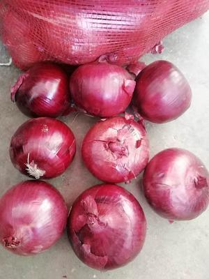 黑龙江省齐齐哈尔市梅里斯达斡尔族区红皮洋葱 7cm以下