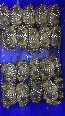 安徽省滁州市南谯区高邮湖大闸蟹 3.0-3.5两 母蟹