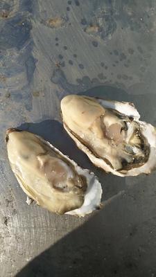 这是一张关于乳山牡蛎 人工殖养 1-2两/只 的产品图片
