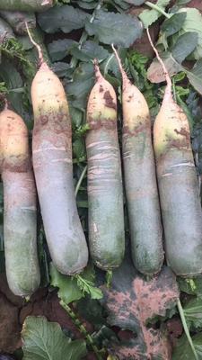这是一张关于青萝卜 1~1.5斤 的产品图片