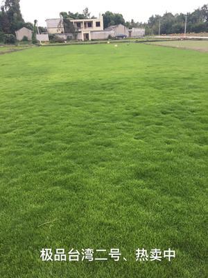 重庆江津区台湾草皮