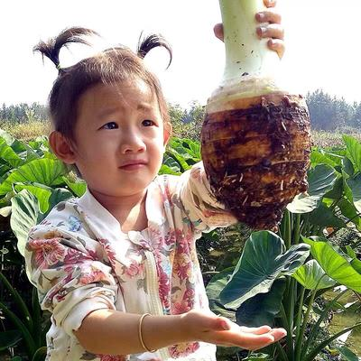广西壮族自治区钦州市灵山县香芋 5cm以上