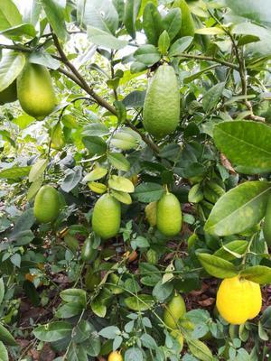 广西壮族自治区南宁市兴宁区香水柠檬 2.7 - 3.2两