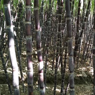 广东省广州市南沙区黑皮甘蔗 2 - 2.5m 6 - 8cm
