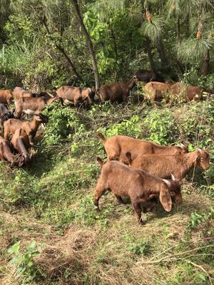 这是一张关于土黄牛 400-600斤 母牛 的产品图片