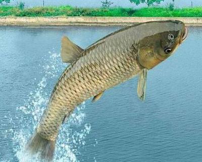 这是一张关于池塘草鱼 0.5-3公斤 人工养殖 的产品图片