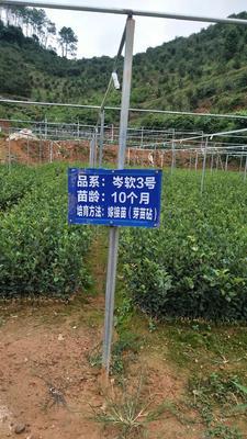 广西壮族自治区玉林市北流市油茶苗