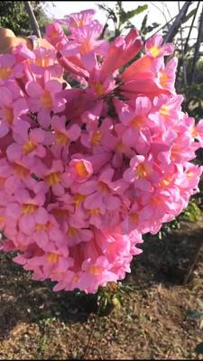 广西壮族自治区玉林市福绵区紫花风铃木