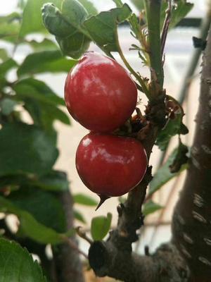 这是一张关于大樱桃 28-30mm 8-12g 的产品图片